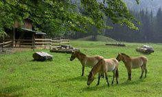 Cumberland Wildpark Grünau Austria, Horses, Animals, Ecommerce, Continents, Road Trip Destinations, Destinations, Viajes, Tips