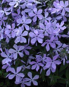 blau bl hende pflanzen und blumen bestimmen jardin terraza pinterest blumen bestimmen. Black Bedroom Furniture Sets. Home Design Ideas
