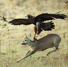 An eagle hunting a deer: