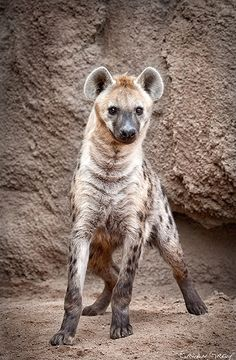 I think Hyenas are beautiful in a very dangerous, rugged kind of way.   They're also fascinating. Hyenas are led by their females (who are nearly twice as large as the males) and they travel in family packs (much like wolves).