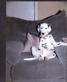 Pictures of Dalmatian Dog Breed