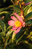 467080 - Christmas camellia (Camellia sasanqua 'Variegata')