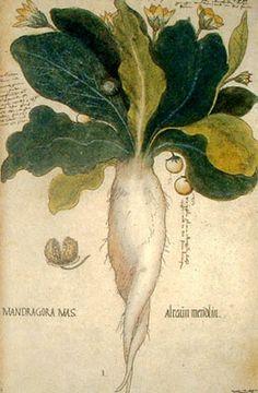 Mandrágora (Mandrágora officinarum). Ilustraciones del Códice de Viena. (Leonard Fuch 1501-1566)