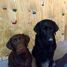 Who found the climbing chalk? Indoor Climbing Wall, Climbing Chalk, Labrador Retriever, Dogs, Animals, Labrador Retrievers, Animales, Animaux, Doggies