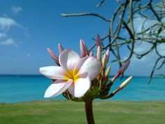 frangipani. Love the smell and look of these beautiful trees.