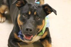 ADOPTED>NAME: Gunner  ANIMAL ID: 29232337  BREED: Rotti mix  SEX: male  EST. AGE: 1 yr  Est Weight: 58 lbs  Health: heartworm neg  Temperament: dog friendly, people friendly  ADDITIONAL INFO: Returned foster 8/24  RESCUE PULL FEE: $49  Intake date: 7/29  Available: Now