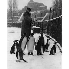 27 December 1962: A keeper counting the penguins during the annual stock-take at London Zoo