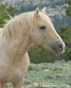 Beloved mustang stallion Cloud - Pryor Mountain herd, Montana