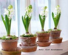 New year, spring is coming with hyacints - My site Nordic Christmas, Christmas Makes, Xmas, Planting Bulbs, Planting Flowers, Plant Aesthetic, Christmas Wonderland, Spring Bulbs, Spring Is Coming