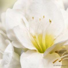 Fotografías artísticas flora. Amaryllis blancas F00540 Wifred Llimona en La Llimona foto