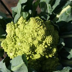 CHOU-FLEUR ROMANESCO AB Veggie Patch, Agriculture Biologique, Cauliflower, Veggies, Abs, Home And Garden, Fruit, How To Make, Avril