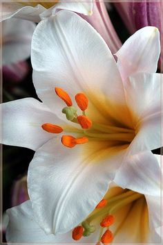Lily - Beautiful, go Beautiful gorgeous pretty flowers Exotic Flowers, Amazing Flowers, My Flower, White Flowers, Beautiful Flowers, Beautiful Gorgeous, Send Flowers, Bloom, Day Lilies