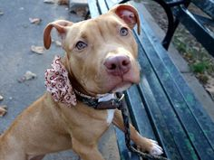 RETURNED AGAIN!! POOR SWEETHEART!! SAFE 1-14-2016 - SUPER URGENT Brooklyn Center - AMANDA – A1057721 ***RETURNED AGAIN 01/16/16*** SPAYED FEMALE, BROWN / WHITE, AM PIT BULL TER MIX, 9 mos RETURN – AVAILABLE, HOLD RELEASED Reason PERS PROB Intake condition EXAM REQ Intake Date 01/16/2016, From NY 11208, DueOut Date 01/16/2016,