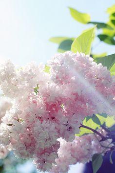 Lilac...