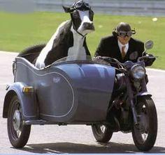 Mme la vache en side-car! Elle veut choisir son pré!