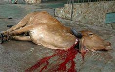 http://1.bp.blogspot.com/-LEmnmRZapHs/T8d1HQUFrII/AAAAAAAAAIU/Z3L2ImNwpZ8/s1600/A-slaughtered-cow-that-has-had-its-throat-slit.jpg