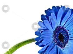 blue gerber