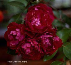 CardinalHume1N.jpg (450×413)