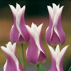 royal purple and ivory. tulips. Amazing