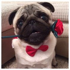 pugsworld, George is looking for a girlfriend