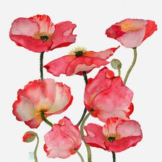 Poppies - by Catharine Campbell