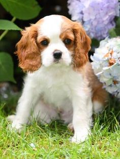 King Charles Cavalier Spaniel Puppy...... I want it!!!!!!!!!
