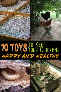 Chickens love to get busy. They enjoy running around, scratching and pecking at things all the time. Here are ten toys for them that you can easily make to keep them occupied and healthy...