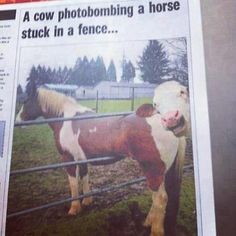 Cow photobomb