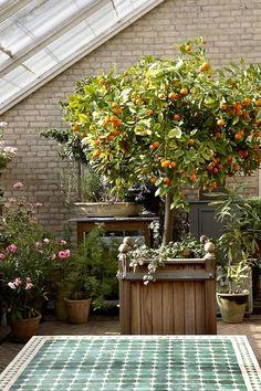 Potted orange trees Paradehuset greenhouse ; Gardenista