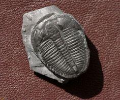 Utah Trilobites : Elrathia kingi (Meek 1870) 7999