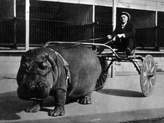 A man and his failed hippo racing business.
