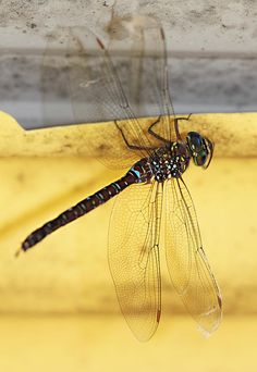 Dragonfly Web