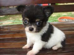 Pin By Sweet Kitty On Puppies Chihuahua Puppies Cute
