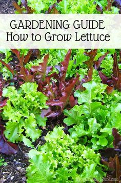 This is a great guide for how to grow lettuce. It contains information from the varieties you can grow all the way through how to store your harvest. It even has recommendation on which lettuce seeds to try. If you want to get started growing your own lettuce at home this garden guide is a great place to start.  I know these tips will help me get my lettuce off to a great start in my garden.