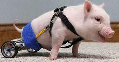 Un maialino disabile cammina grazie a una sedia a rotelle su misura