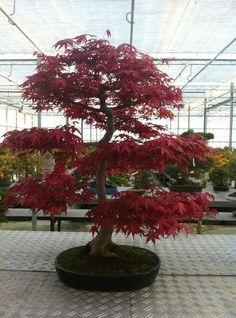 Red Maple Bonsai ~ beautiful