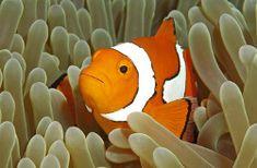 Image result for false percula clownfish