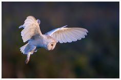 Barn Owl | Put on a sensational show late one afternoon. | Pete Walkden | Flickr
