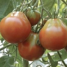 Market Day Farms - heirloom tomato starters (organic)
