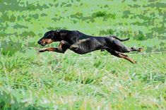 Manchester Terrier - by all accounts this was the breed that my dog was. Though the dogs home put him down as a greyhound/alsatian cross. Terrier Breeds, Dog Breeds, Toy Manchester Terrier, Farm Animals, Cute Animals, Min Pins, Best Puppies, Dog Things, Dog Id