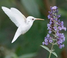 Albino Ruby-Throated Hummingbird, Staunton, Virginia