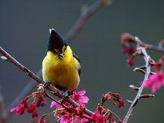 yellow tit        (photo)