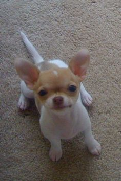 just to kiss that face Chihuahua Puppies, Cute Puppies, Cute Dogs, Cute Baby Animals, Animals And Pets, Puppies And Kitties, Doggies, Baby Dogs, Little Dogs