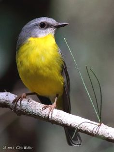 Eastern Yellow Robin () Birdlife - Wild Redlands