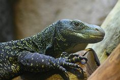 crocodile monitor | Crocodile Monitor | Flickr - Photo Sharing!
