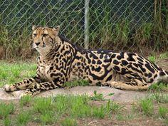 Guepardo real - Wiki Reino Animalia