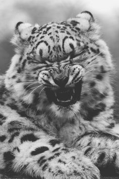 A Crying Clouded Snow Leopard Cub That was halarious man! Leopard Cub, Clouded Leopard, Baby Snow Leopard, Big Cats, Cool Cats, Cats And Kittens, Beautiful Cats, Animals Beautiful, Animals And Pets