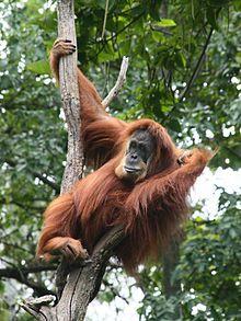 The Sumatran orangutan (Pongo abelii) is one of the two species of orangutans. Found only on the island of Sumatra, in Indonesia, it is rarer than the Bornean orangutan.