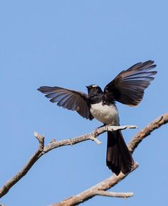 Willie Wagtail (Rhipidura leucophrys) flying off his perch.