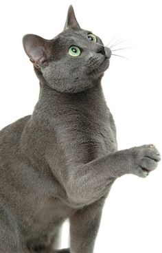 Russian Blue Cat Sitting Up